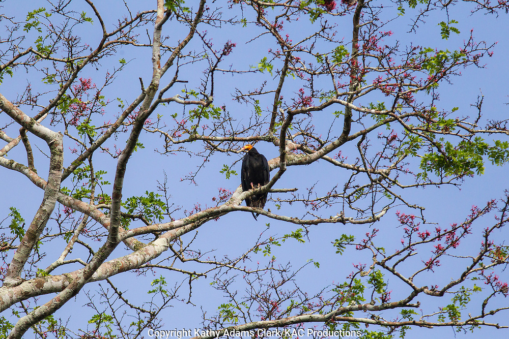 Greater yellow-headed vulture; Cathartes melambrotus; Inkaterra Amazonia; Lake Sandoval; Madre de Dios River; Peru; Reserva Ecologica Inkaterra; Tambopata National Reserve