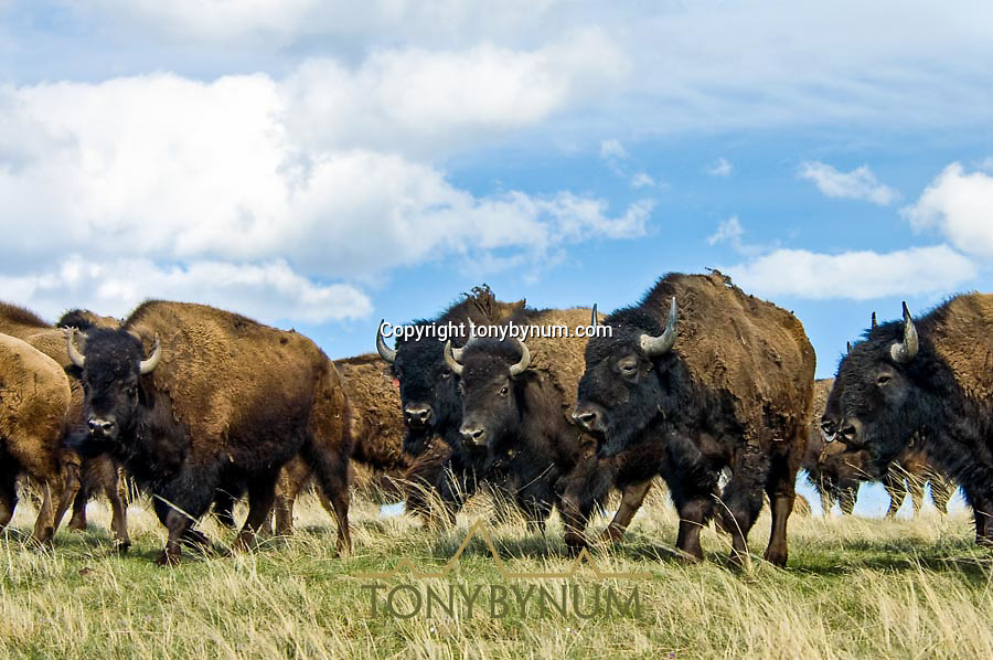 bison in grasslands habitat