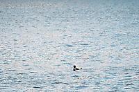 Common Loon, Loons, Birds, Bird, Waterfowl, Minnesota, Mississippi River