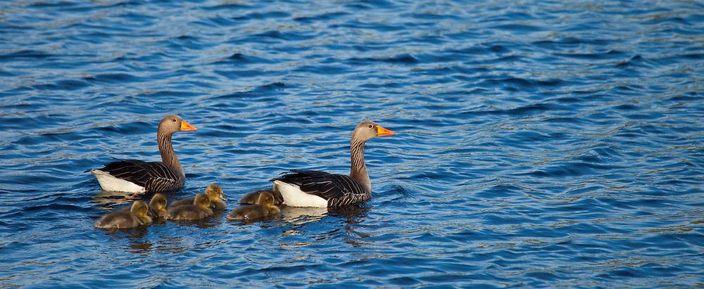 Greylag Goose, Ansar común (Anser anser), Outer Hebrides, UK