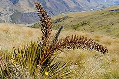Aciphylla