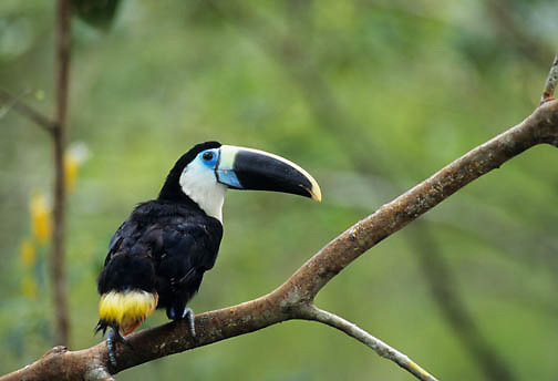 Citron-throated Toucan (Ramphastos citreolaemus) in Ecuador,  South America.