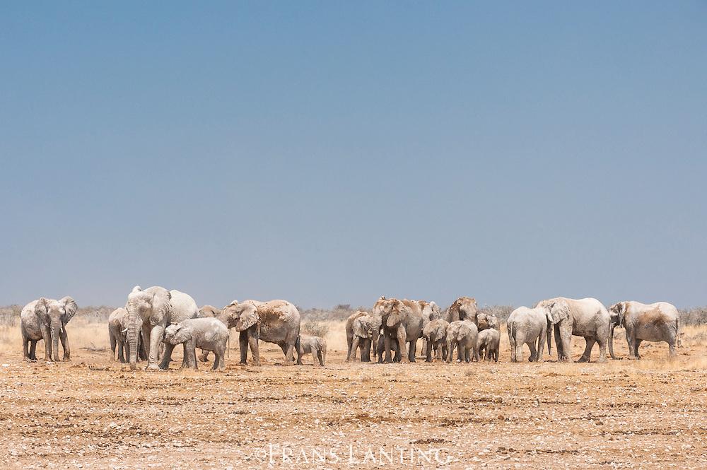 African elephants dustbathing, Loxodonta africana, Etosha National Park, Namibia