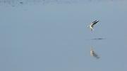 A seagull floating over the water of the Waddenzee // Een meeuw hangt boven het water en wordt weerspiegeld in de Waddenzee.