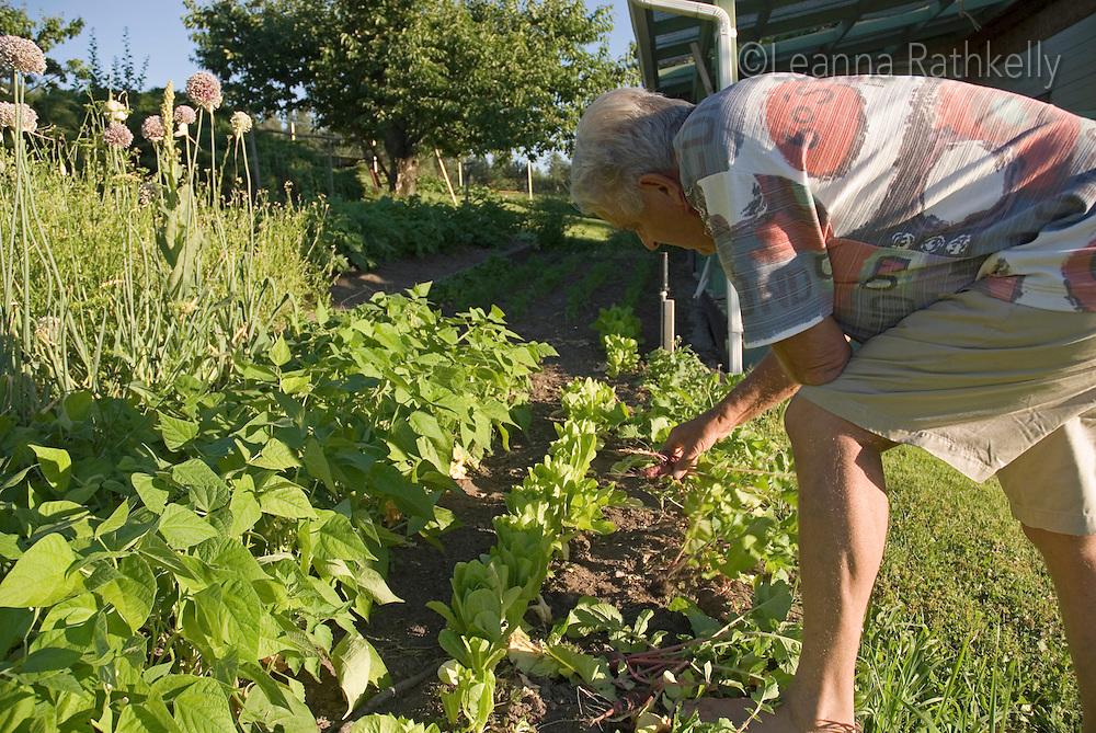 Adult male, 65, weeds his backyard garden in the Okanagan, BC Canada.