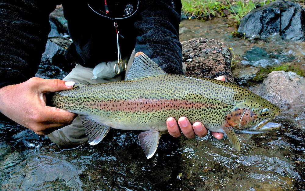A hidden in lake Chilean Patagonia gives up this spectacular trout. Note the pink tip on the dorsal fin.