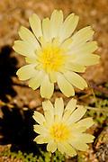 Spring wildflower bloom in Joshua Tree National Park