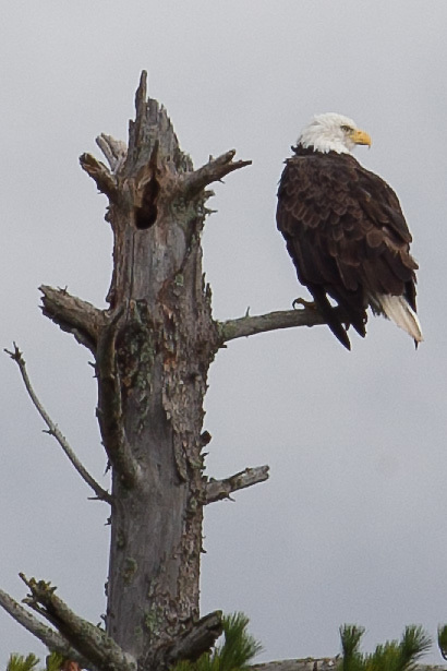 Seven participants and two guides led a Wilderness Inquiry canoe adventure on Brule Lake in the Boundary Waters from Sept. 5 to September 9, 2012...An eagle keeps an eye on the flotilla of canoes passing by his roost.