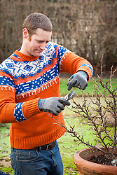 Pruning a gooseberry bush in winter