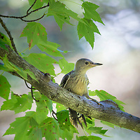 Red bellied woodpecker fledgling perched in maple tree. Backyard setting, central Ohio.