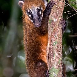Quatis, mão-pelada, guaxinim, juparás, camgambás - Procyonidae e Mephitidae / Procyonids and Skunks