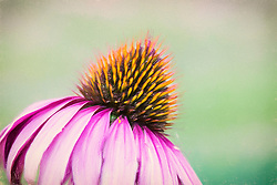 The Eastern purple Coneflower genus name is from the Greek echino, meaning hedgehog, an allusion to the spiny, brownish central disk. The flowers of Echinacea species are used to make an extremely popular herbal tea, purported to help strengthen the immune system; an extract is also available in tablet or liquid form in pharmacies and health food stores. Often cultivated, Purple Coneflower is a showy, easily grown garden plant.