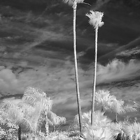 Infrared photo of tall palms on Wabasso Causeway, Florida