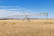 Mobile lateral move irrigation boom system in field of golden wheat before harvest near Woolpunda, South Australia, Australia.