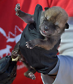 Wolf Pups Come to New Mexico
