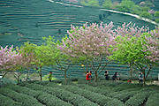 March 15, 2016 - Zhangping, China - <br /> <br /> Aerial view Cherry Blossoms in a Tea Garden in China<br /> <br /> Visitors take photo of cherry blossom surrounded by tea garden in Yongfu Town of Zhangping City, southeast Chian's Fujian Province, March 15, 2016. Blooming cherry and fresh tea leaves there formed an attractive picture.<br /> &copy;Exclusivepix Media