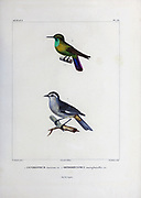 hand coloured sketch Top: Subspecies of Tyrian Metaltail (Metallura tyrianthina smaragdinicollis [Here as Orthorhynchus smaragdinicollis]) Bottom: cinereous conebill (Conirostrum cinereum) From the book 'Voyage dans l'Amérique Méridionale' [Journey to South America: (Brazil, the eastern republic of Uruguay, the Argentine Republic, Patagonia, the republic of Chile, the republic of Bolivia, the republic of Peru), executed during the years 1826 - 1833] 4th volume Part 3 By: Orbigny, Alcide Dessalines d', d'Orbigny, 1802-1857; Montagne, Jean François Camille, 1784-1866; Martius, Karl Friedrich Philipp von, 1794-1868 Published Paris :Chez Pitois-Levrault et c.e ... ;1835-1847