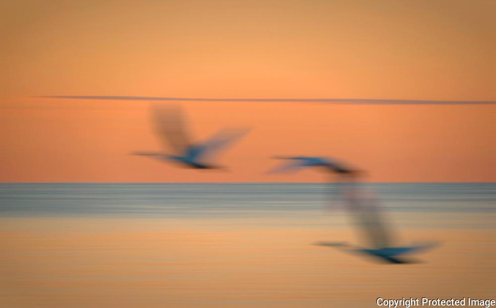 Three Swans Flying