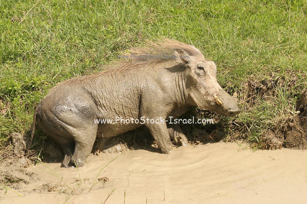 Africa, Tanzania, Ngorongoro Ngorongoro Conservation Area (NCA) Warthog (Phacochoerus africanus) rolls in the mud