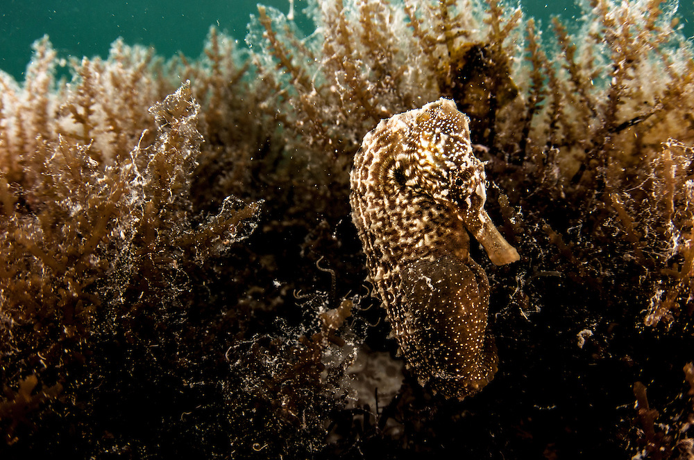 Seahorse underwater in the Bahamas