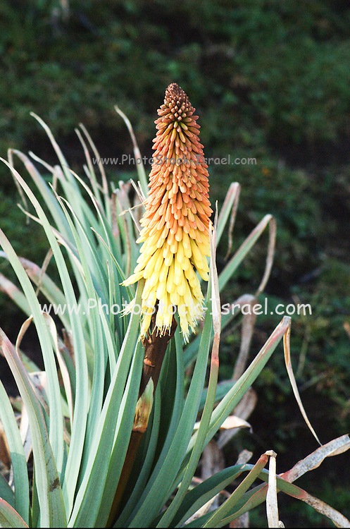 Africa, Ethiopia,Oromia Region, Bale Mountains Red hot poker (Kniphofia uvaria)