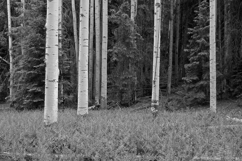Quaking aspens (Populus tremuloides) and field of bracken fern (Pteridium aquilinum), Apache-Sitgreaves National Forest, Arizona