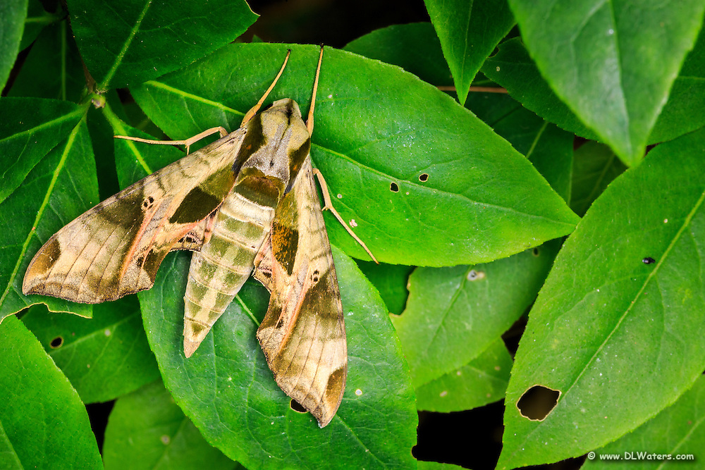 Pandorus Sphinx Moth - (Eumorpha pandorus} in my backyard.