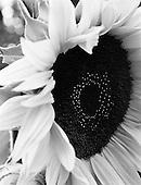 Sunflower 2011
