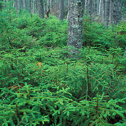 Asticou Trail, Acadia N.P., ME.Black Spruce Regeneration.   Black spruce saplings, picea mariana..