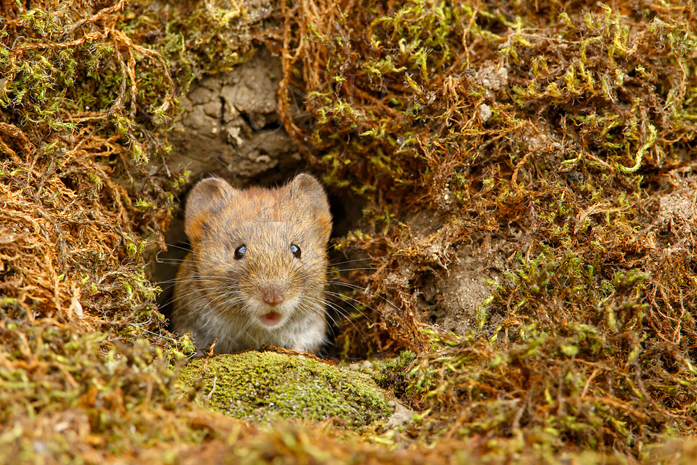 Bank Vole (Clethrionomys glareolus) adult emerging from hole in bank, South Norfolk, UK. August.