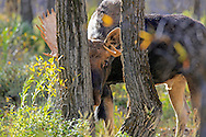 A Bull Moose Hides Behind Trees
