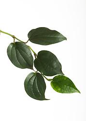 Betel Leaf (Piper betle). Foliage cut out.