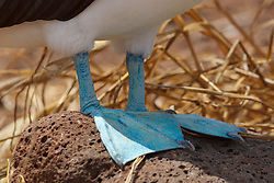 Detailed view of the blue feed of a Blue-footed Booby (Sula nebouxii), Galapagos Islands National Park, North Seymour Island, Galapagos, Ecuador
