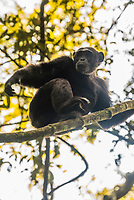 """Chimpanzee in a tree, Kibale Forest National Park, Uganda. Known as """"The Primate Capital of the World"""" Kibale has the largest number of primates of any national park in the world."""
