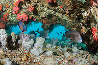 Sweetlips and Blue Ringed Angelfish under reef overhang..Shot in Indonesia..