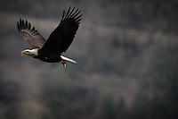 JEROME A. POLLOS/Press..A bald eagle flies back to its nest with a small animal held tightly in its talons over Beauty Bay on Lake Coeur d'Alene.