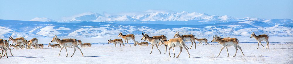 Not only do pronghorns have the longest land migration in the continental United States, they also are the fastest land animal in North America.