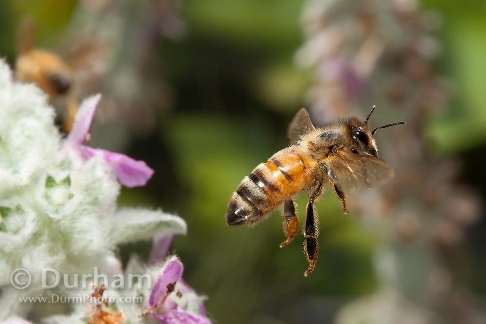 A western honeybee (Apis mellifera) pollinating flowers in western Oregon. © Michael Durham / www.DurmPhoto.com
