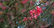 Red spring blossoms in Mount Tabor Park, Portland, Oregon, USA. Nikon MF Nikkor 50mm f/1.8 AIS