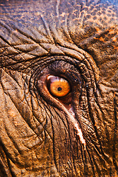 Close up image of eye of an Indian elephant  ( Elephas maximus ) , Kaziranga National Park, Assam, India