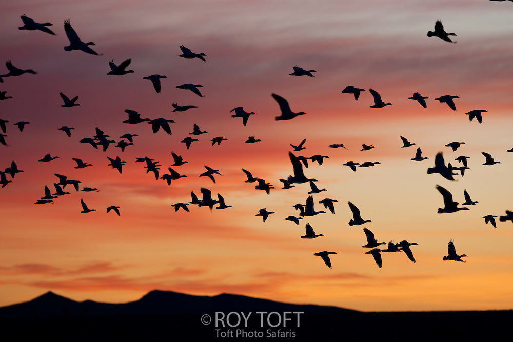 A flock of Sandhill Cranes (Grus canadensis) flying during sunset.
