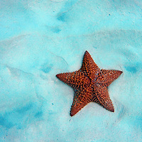 Caribbean, Barbados, Carlisle Bay. Red Cushion Sea Star in sand.
