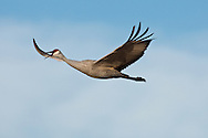 Bosque del Apache National Wildlife Refuge, New Mexico, a Sandhill Crane (Grus canadensis) calling in flight