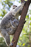 Koala <br /> Phascolarctos cinereus<br /> Ten-month-old joey clinging to mother's chest<br /> Queensland, Australia<br /> *Captive