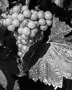 Casa Larga Vineyards, Victor, NY