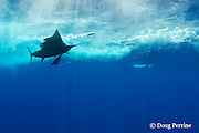Pacific sailfish, Istiophorus platypterus, chasing a teaser lure, Vava'u, Kingdom of Tonga, South Pacific