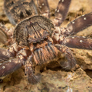 Huntsman Spider Heteropoda sp. Heteropoda is a genus of spiders in the family Sparassidae, the huntsman spiders. They are mainly distributed in tropical Asia and Australia.