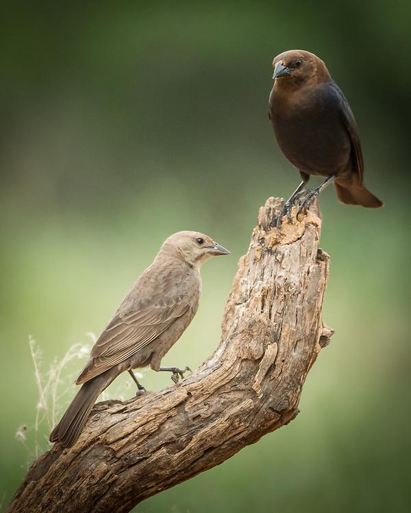 Molothrus ater, pair
