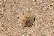 A sand dollar along Boneyard Beach at Botany Bay Plantation February 16, 2014 in Edisto Island, South Carolina. Each year 144,000 cubic yards of sand is washed away with the waves at the beach and nearshore eroding the coastal forest along the beachfront.