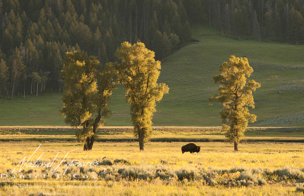 Cottonwood trees near a grazing bison (Bison bison) in the Lamar Valley, Yellowstone National Park.